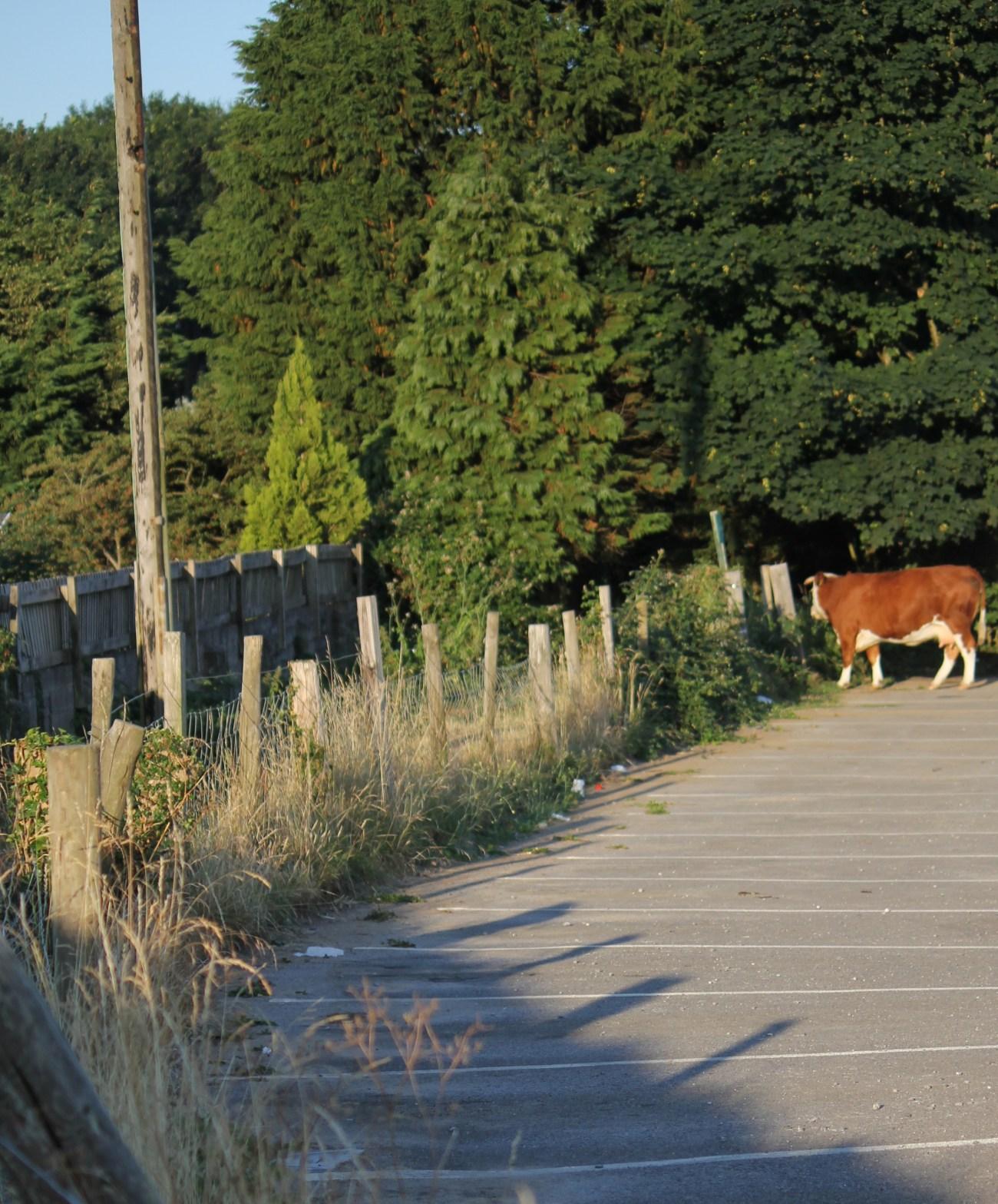 Cow in Car Park at Pennard