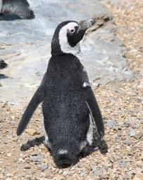 Penguins at ZSL Whipsnade Zoo