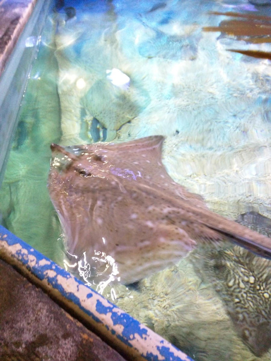 Ray Tank at the Sea Life Centre in Scarborough