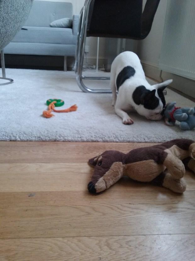 Juno the French Bulldog playing indoors