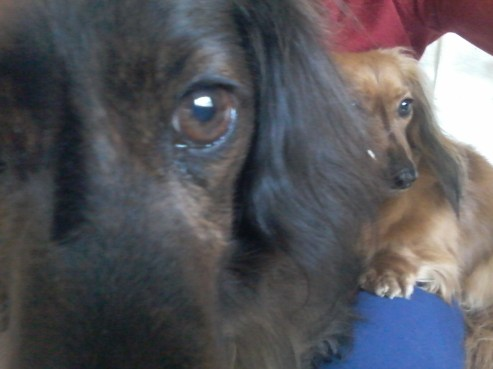 Sark and Jura the miniature long haired Dachshunds relaxing