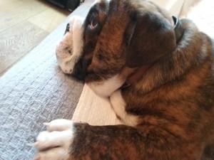 Three months-old English Bulldog lying down