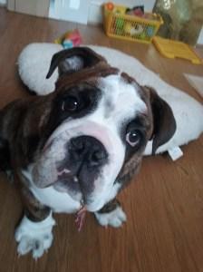 Three months-old English Bulldog making eye contact