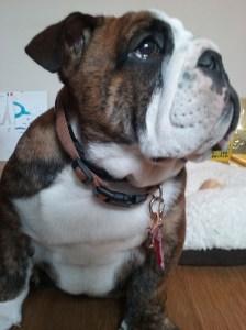 Three months-old English Bulldog