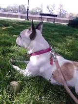 Female French Bulldog in the grass