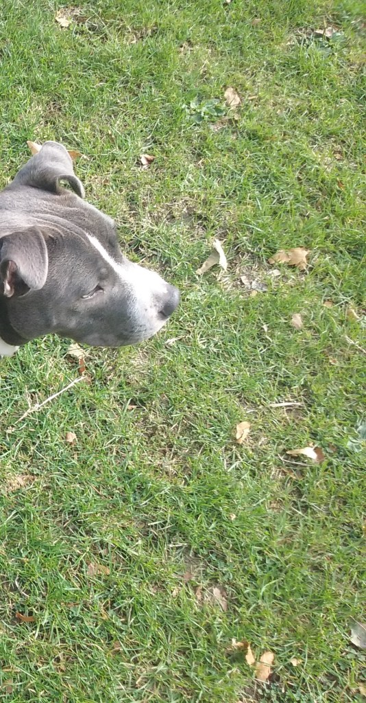 Bafo the male StaffordshireBullTerrier outdoors