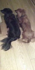 Jura and Sark Miniature long-haired Dachshunds indoors