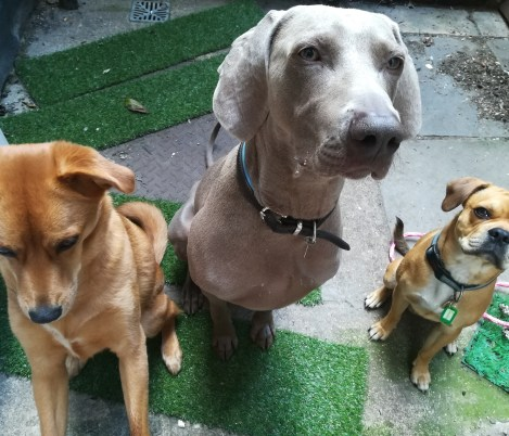Georgie to the left, the cross Golden Retriever/Labrador, outdoors with Max the Weimaraner, and Ziggy the cross Pug/Cocker Spaniel/French Bulldog/Boston Terrier, pausing during dog Day care