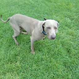 Max the Weimaraner, playing in Hyde Park during his dog Day care