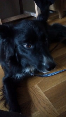 Chester, the Border Collie, ready for time out during his Stay-and-Care