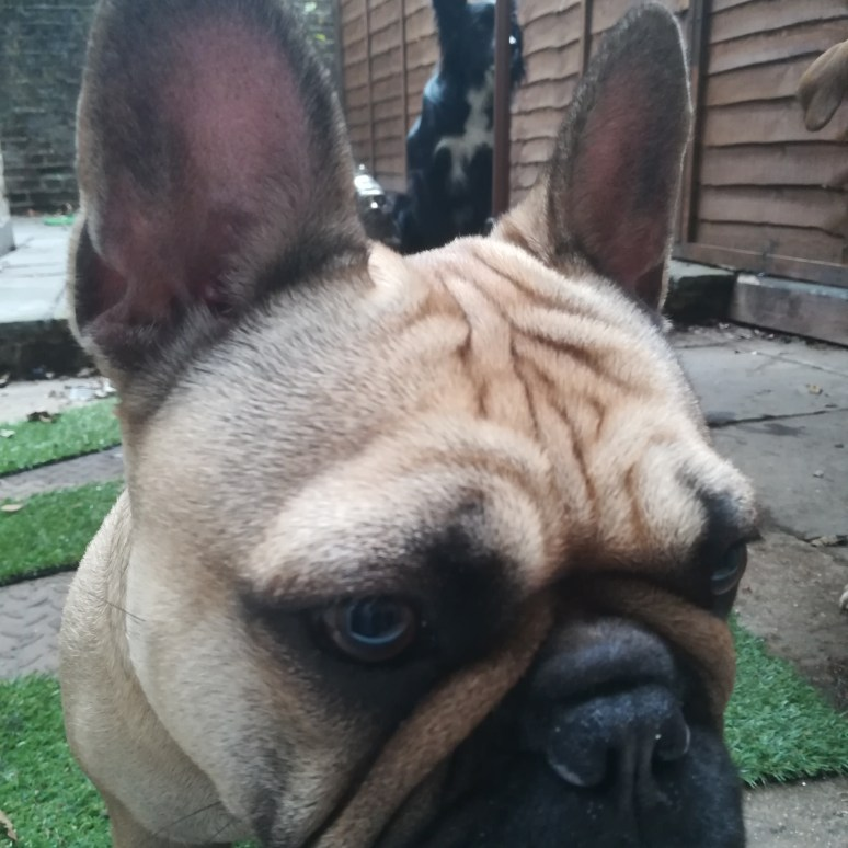 Lola, the French Bulldog, and Chester, the Border Collie, socialising during dog Day Care