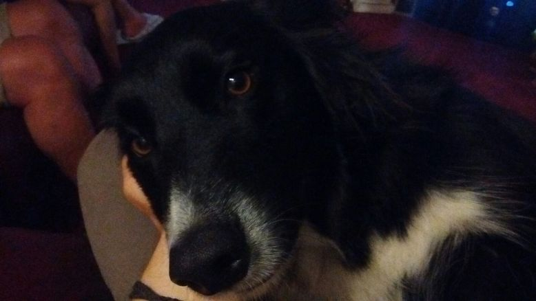 Chester, the Border Collie, during his dog Stay-and-Care boarding