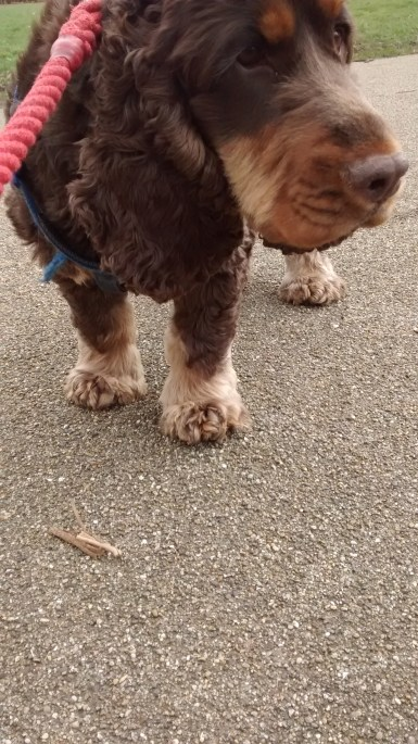 Ollie, our Cocker Spaniel, during his dog Walking