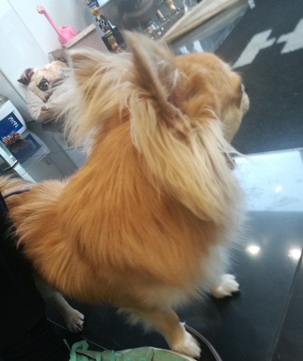 Charles, the long-haired Chihuahua, for his dog Training