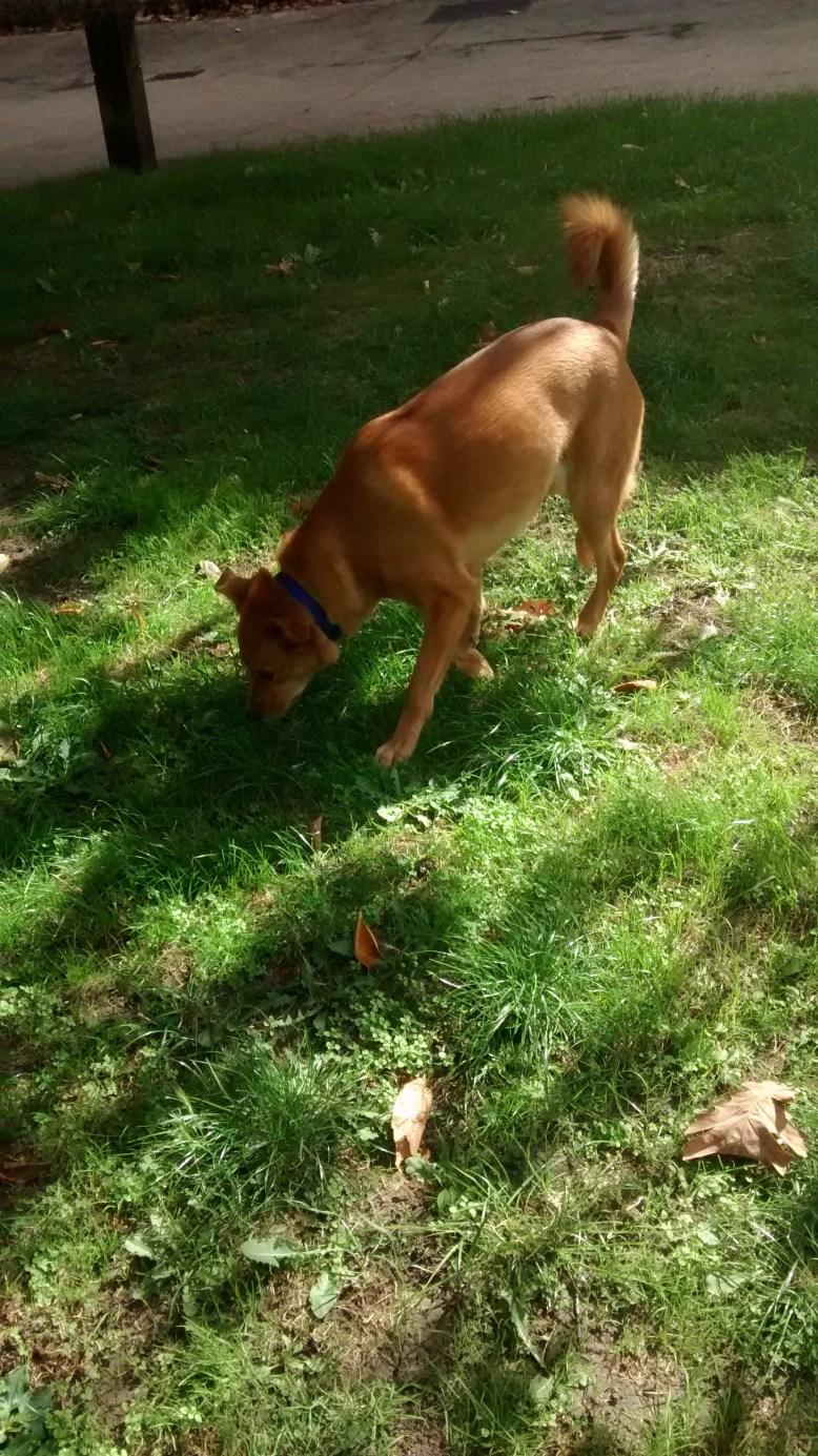 Georgie, our cute crossbreed Golden Retriever/Labrador, during her dog Walking