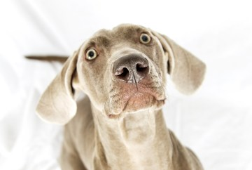 Max, the Weimaraner, during a Professional dog Photography shot