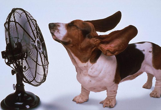 Bassett in front of a fan keeping cool in a heat wave