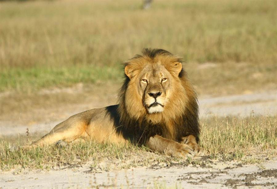 Cecil the lion who was killed by a trophy hunter