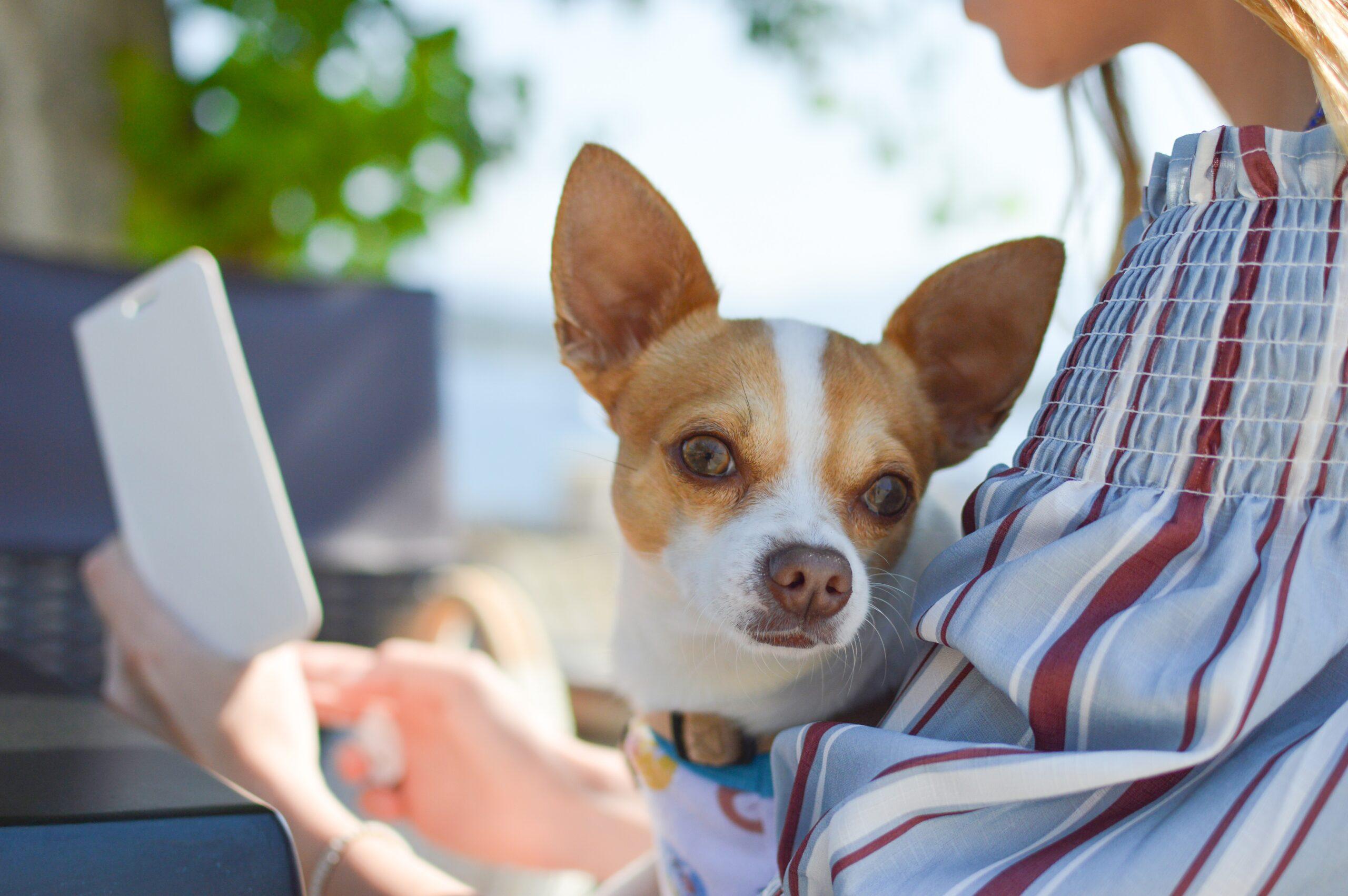 dog on ladies lap