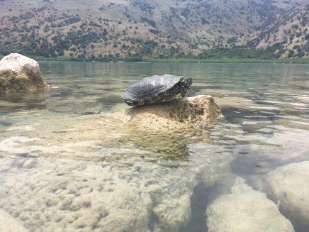 terrapin on a rock at Lake Kournas