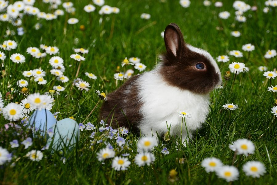bunny rabbit in a field