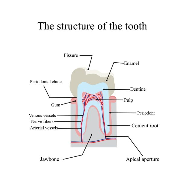 structure of the tooth