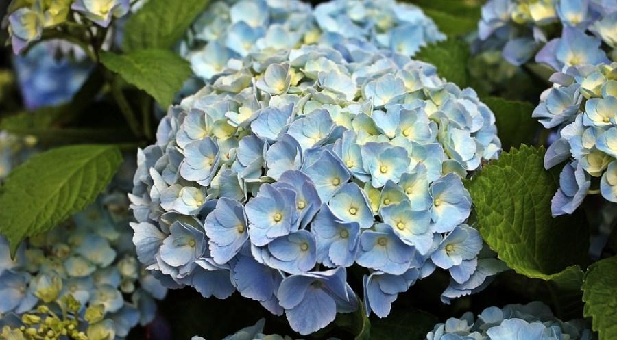 hydrangea in a garden