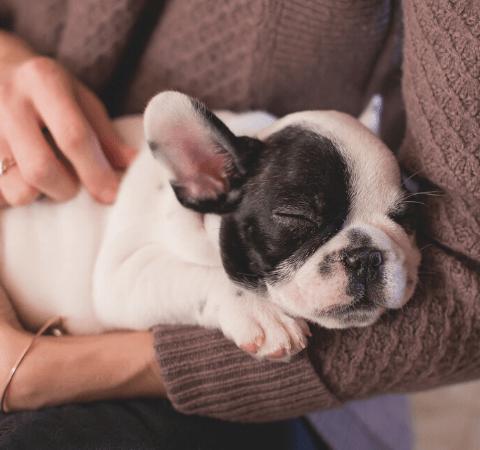 bulldog pup asleep in a ladies arms