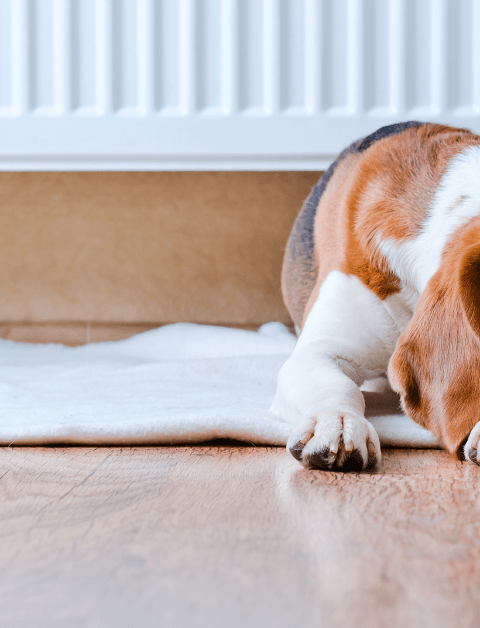 beagle dog laying by a radiator