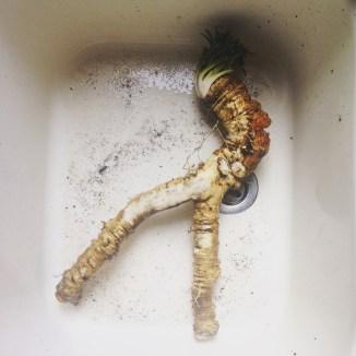 home grown horseradish