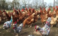 Rikke Digerud Chickens 3