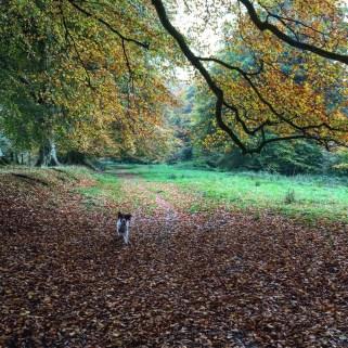 Autumn walks with Maisie