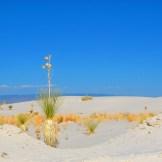 White Sands Bloom - WIY