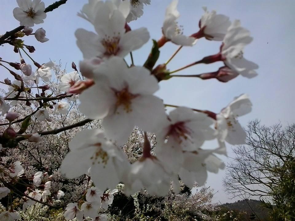I giardini più belli del Giappone: Ritsurin e i ciliegi in fiore