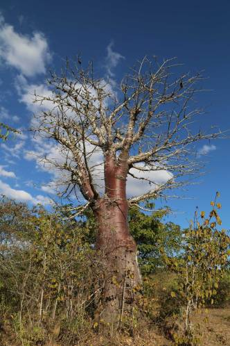 The red baobab
