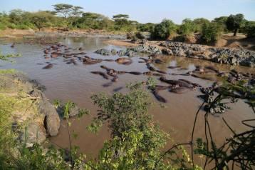 Sooooooo many hippos
