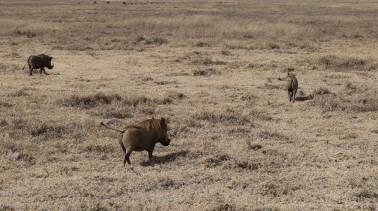 Warthog butts