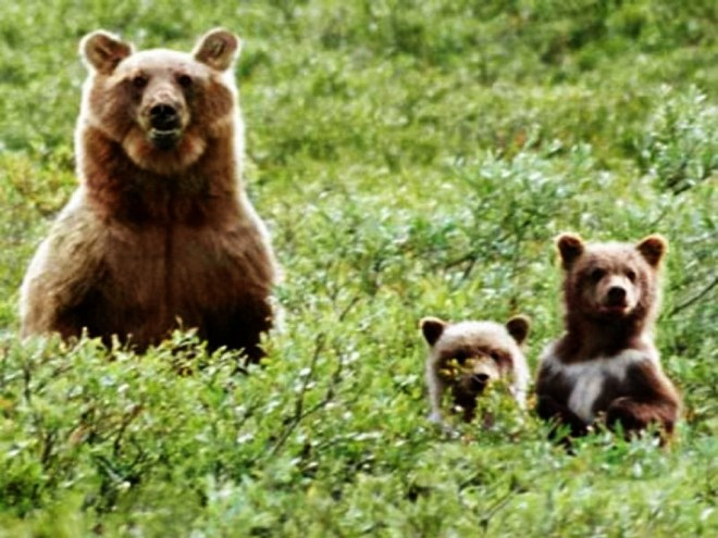 bears-in-the-wild