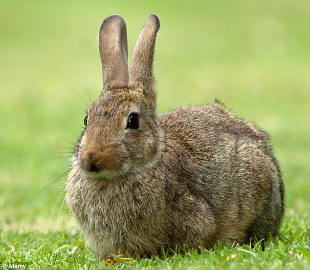 1404202525987_Image_galleryImage_Wild_rabbit_Oryctolagus_c