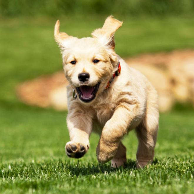 cachorrinho-correndo