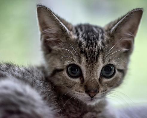 UNITED STATES - 2015/06/29: Adorable tabby kitten portrait. (Photo by John Greim/LightRocket via Getty Images)