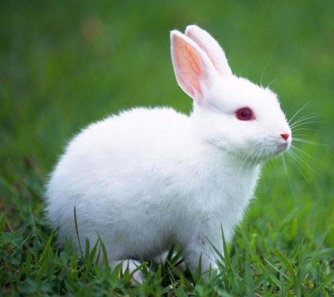 coelho-branco