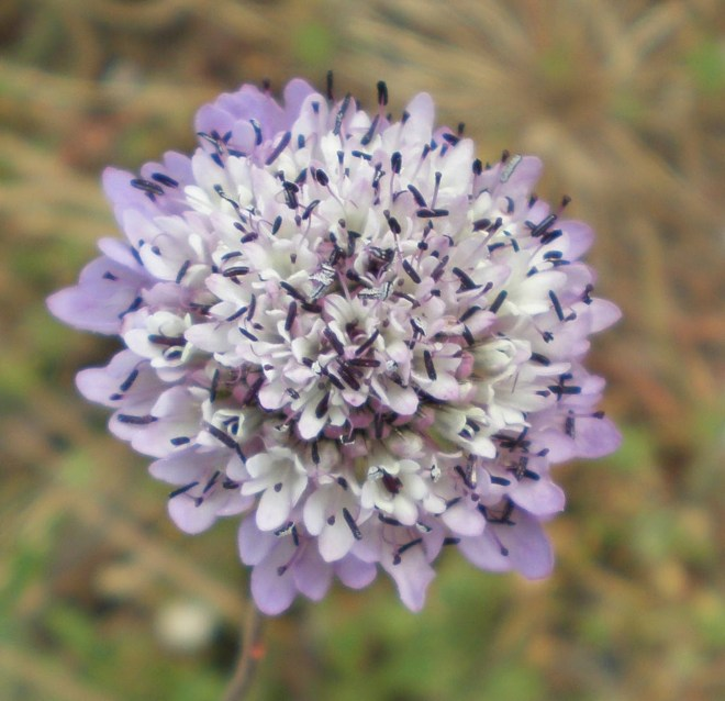 Escabiosa ou flor-de-viúva