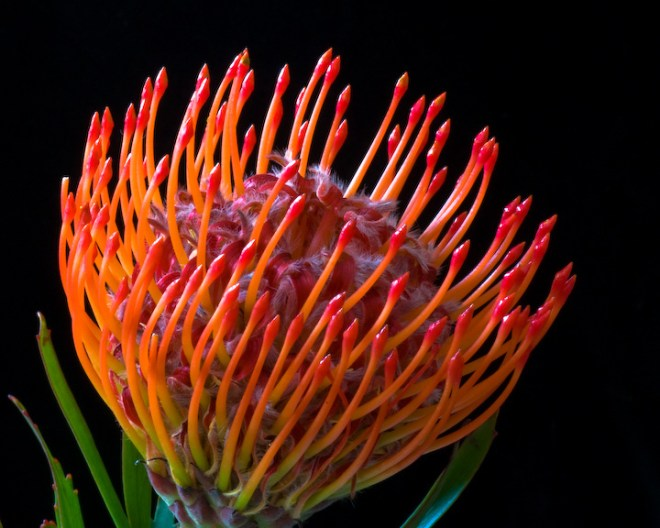Protea Pin Cushion