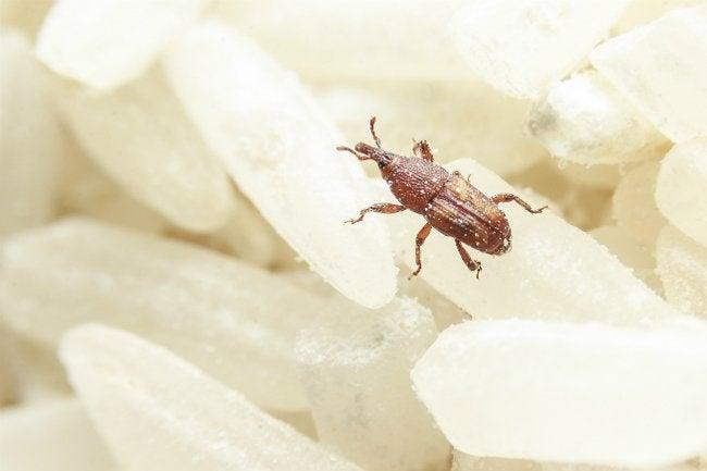How To Get Rid Of Weevils Bob Vila