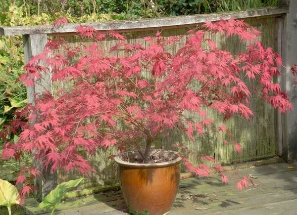 best container trees and shrubs for