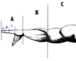 https://i2.wp.com/empowerednutrition.com/wp-content/uploads/2010/10/golden-ratio-arm.jpg