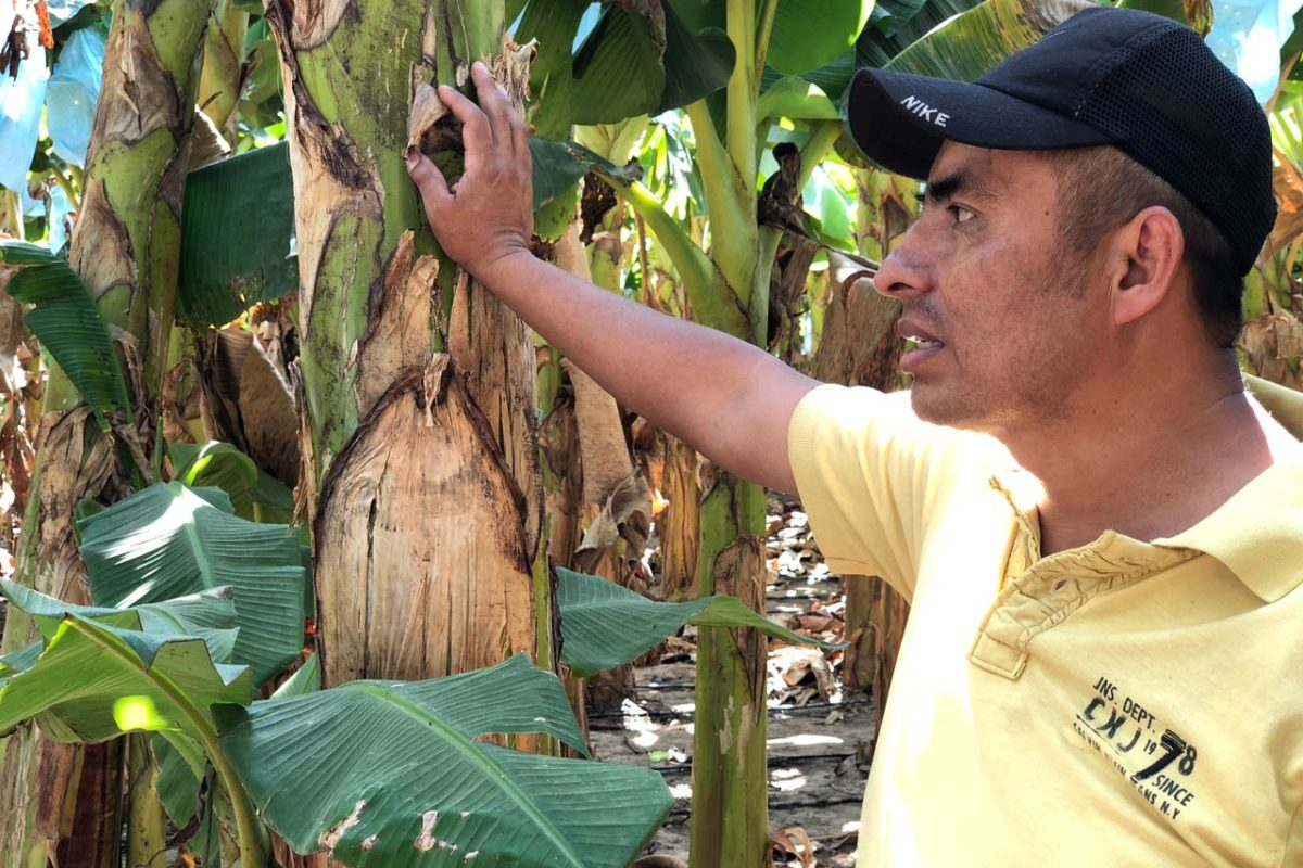 plantain talking