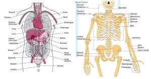 Human Anatomy | KnowItAll