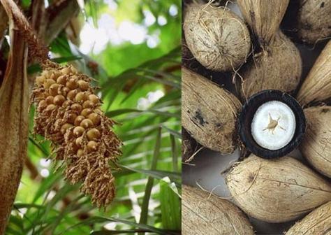 fruit du murumuru
